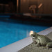 Evolutionary Trap:  Treefrog singing by pool
