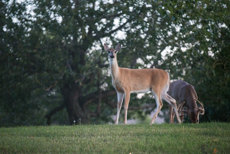 The deer seem very healthy, says veterinarian Peter Claffey, whose clinic gives him a great view of the herd.