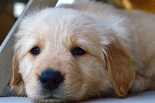 Golden Retriever Puppy | by wafflesatnoon