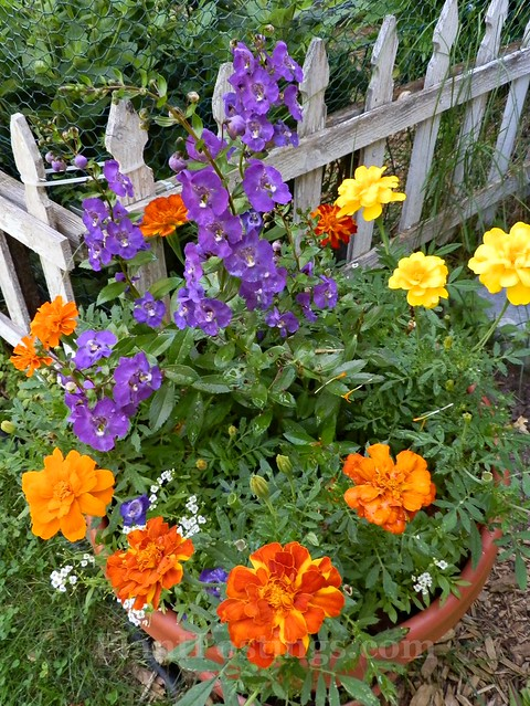 angelonia and marigolds