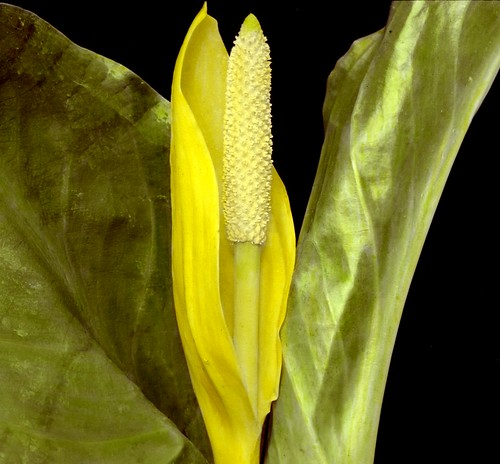 Lysichiton camtschatcense - Western Skunk Cabbage | by Provincial Archives of Alberta