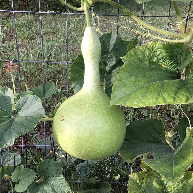 Got some good gourds goin' on in the garden. #gourds #birdhousegourd