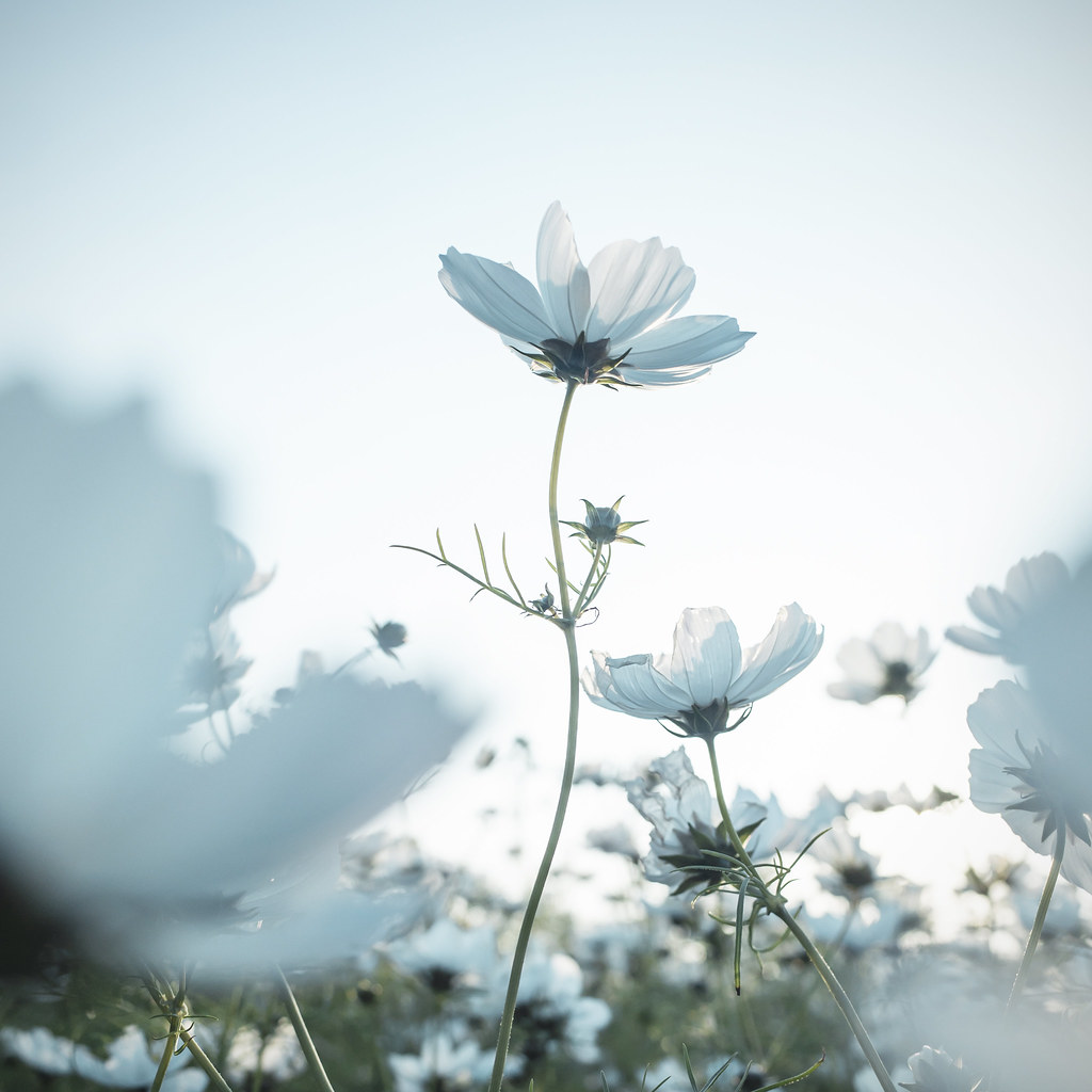 Nature Flowers White Cosmos Instagram Id Aikaw
