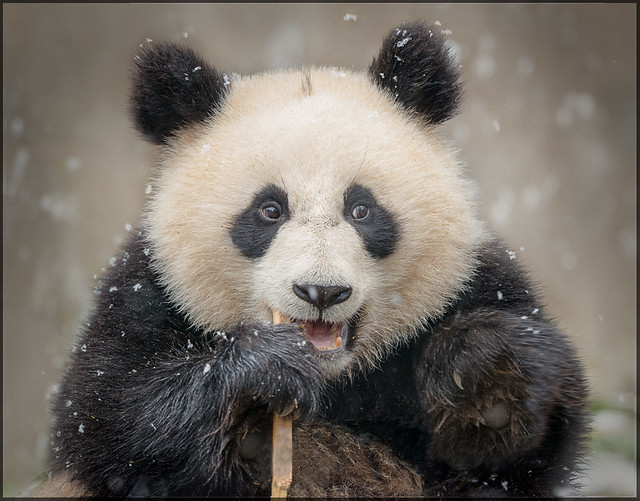 Giant Panda Cub, China