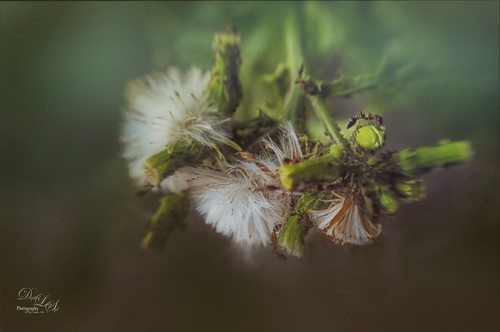 Image of several ants on a dandelion