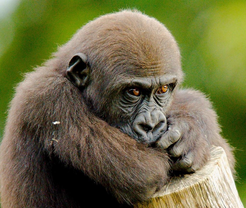 Gorilla (Gorilla gorilla gorilla)_38