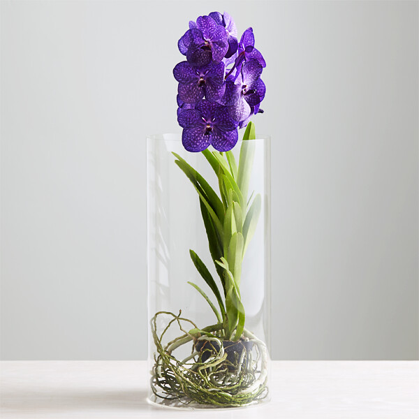 Purple Vanda Orchid With Visible Roots In A Tall Glass Vas Flickr