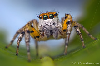 Freya sp. (F. maculatipes?) Male Jumping Spider - Belize | by Thomas Shahan