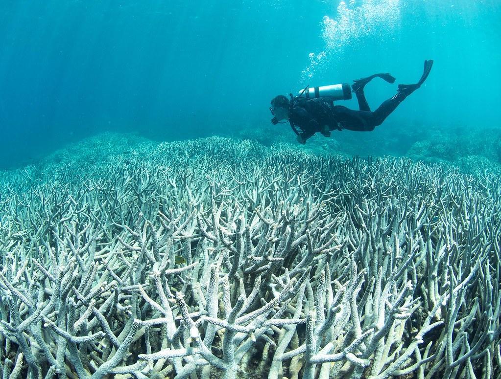 大堡礁珊瑚白化。圖片來源:The Ocean Agency。(CC BY-NC)
