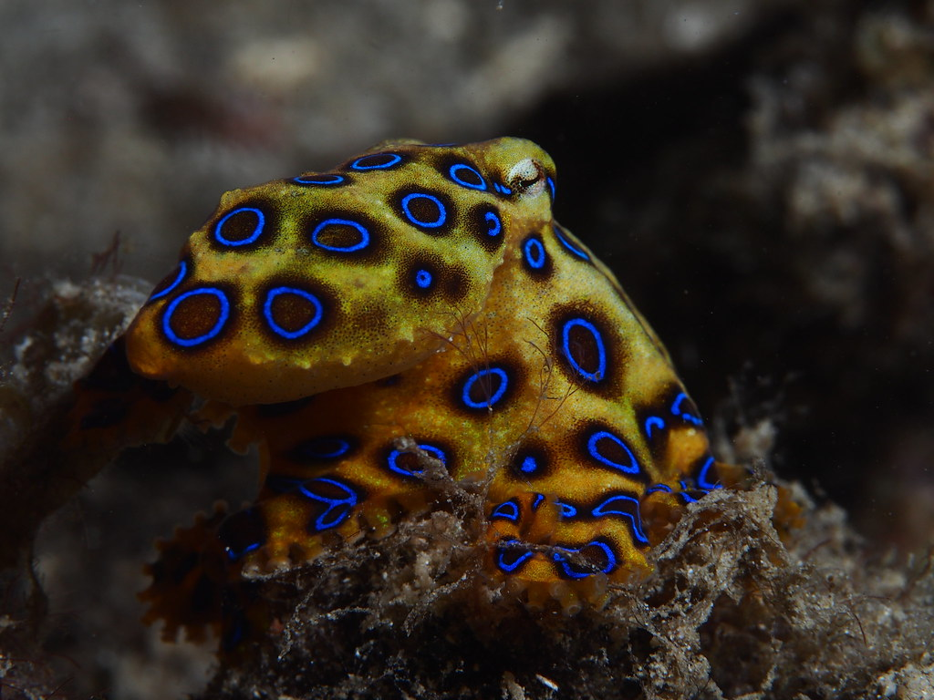 Greater blue-ringed octopus (Hapalochlaena lunulata) | Flickr