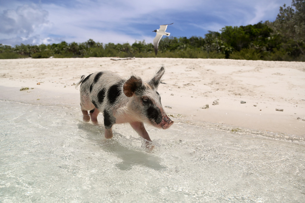 Swimming Piglet of Bahamas