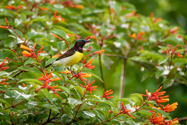 A Purple-rumped sunbird