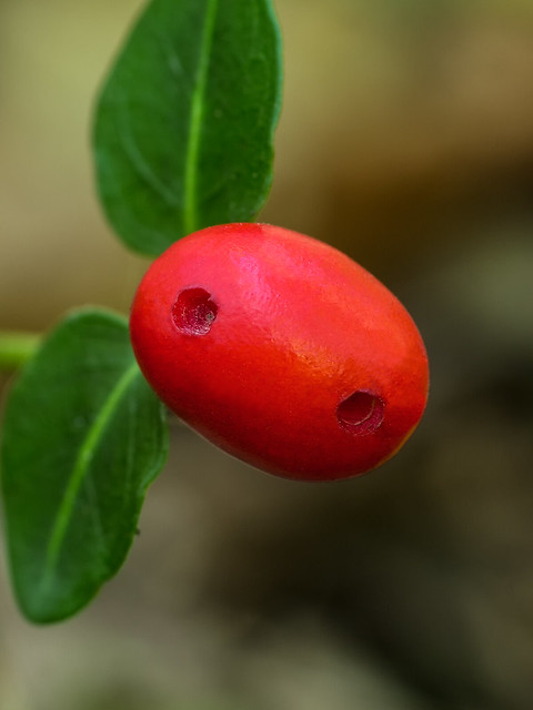 Fruiting body of Partridge Berry plant