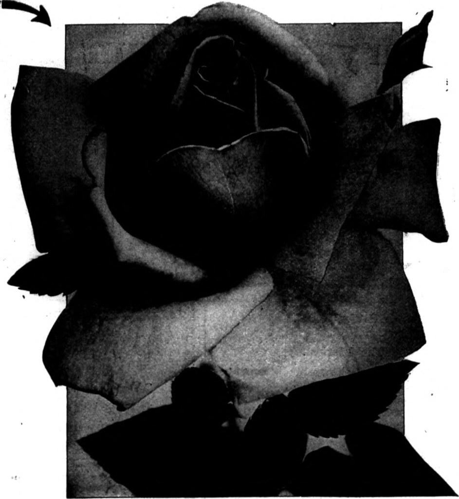 "... Image from page 1287 of ""Florists' review [microform]"" (1912)"