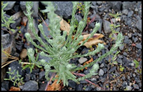Filago germanica (= Filago vulgaris) - cotonnière commune 27918028624_af80596d56