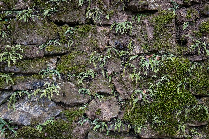 Helechos en un muro de piedras de la Font del Boix