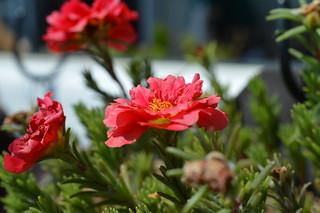 DSC_3795 Portulaca grandiflora ポーチュラカ 松葉牡丹