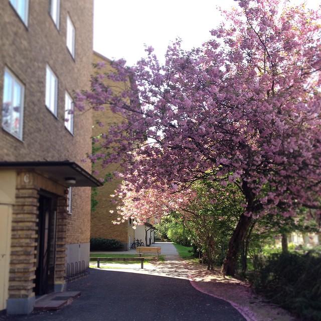 cherry blossoms, helsingborg