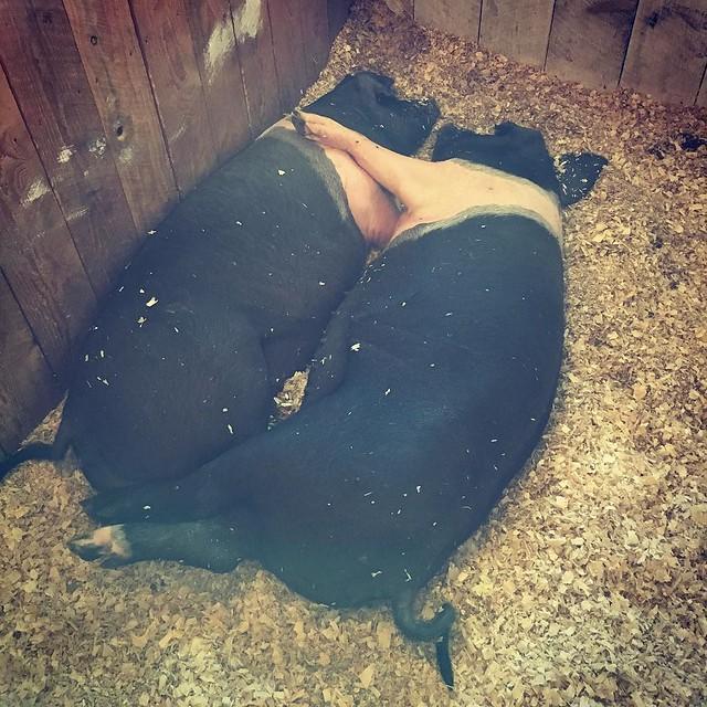 Swine love 🐖❤️🐖