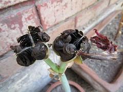 amarilis semillas