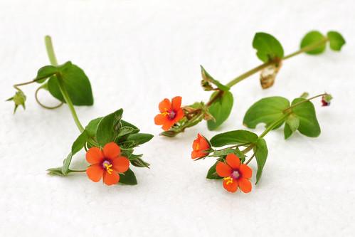 """Bretagne 2016 - Botanisieren im Garten des Ferienhauses - Wildpflanzen - u. a.: die Weiße Wucherblume, auch Margerite oder Orakelblume genannt, den Roten oder Acker-Gauchheil (Anagallis arvensis), aus der Familie der Storchenschnäbel den sehr kleinen """"Weichen Storchenschnabel"""" (Geranium molle), den Gewöhnlichen Hornklee, einen farblich sehr hübsch blühenden Sauerklee (Oxalis) - hier rate ich mehr als dass ich es sicher weiß: Oxalis articulata?, den Kleinen Klee (Trifolium dubium), auch Faden-Klee oder """"Zweifelhafter Klee"""" genannt - Fotos: Brigitte Stolle 2016"""