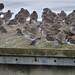 Purple Sandpiper / Redshank / Turnstone