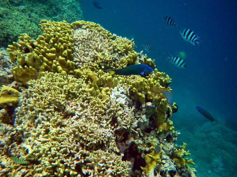 Snorkeling di terumbu karang dan underwater bawah laut Pulau Menjangan, Bali, Indonesia