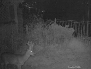 Roe Buck in garden at night | by Langbein Wildlife
