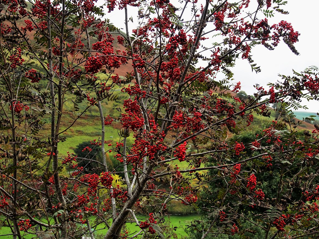 Rowan Berries, Rhaeadr Valley, Wales.
