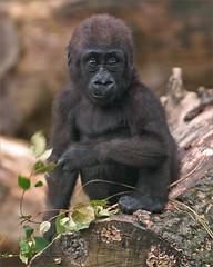 Toddler gorilla