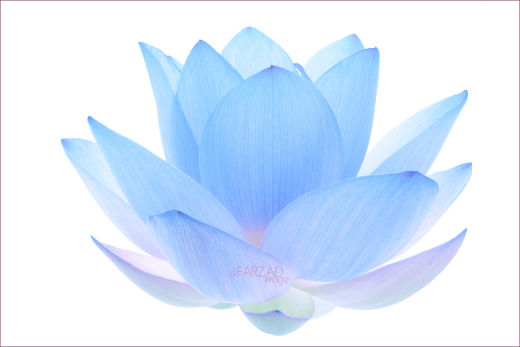 Blue lotus flower blue lotus flower img5771 1 b 1000s bahman blue lotus flower by bahman farzad mightylinksfo
