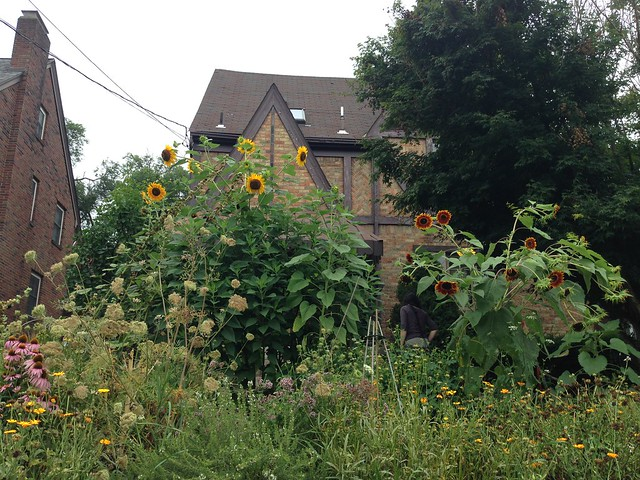 The Unplanned Sunflowers