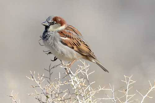 House Sparrow | by Sterling Moore