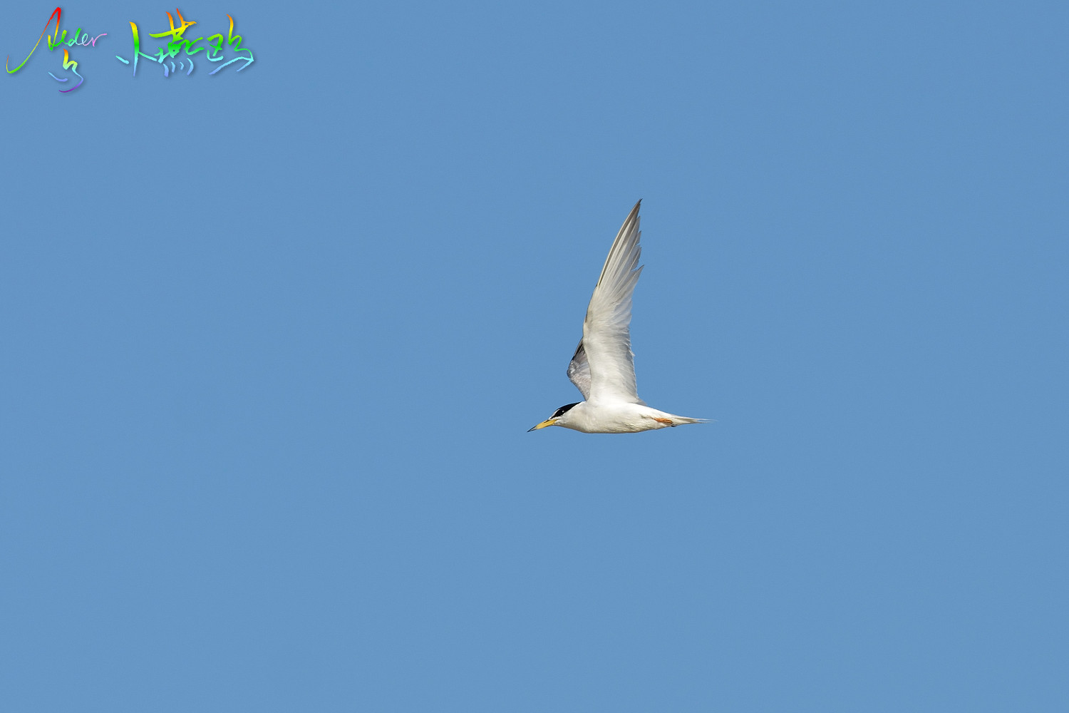 Little_Tern_2025