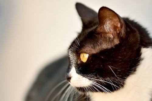 Gitana, gata blanquinegra dulce y tranquila esterilizada, nacida en Febrero´14, en adopción. Valencia. ADOPTADA. 28808138353_19de1f5ae6