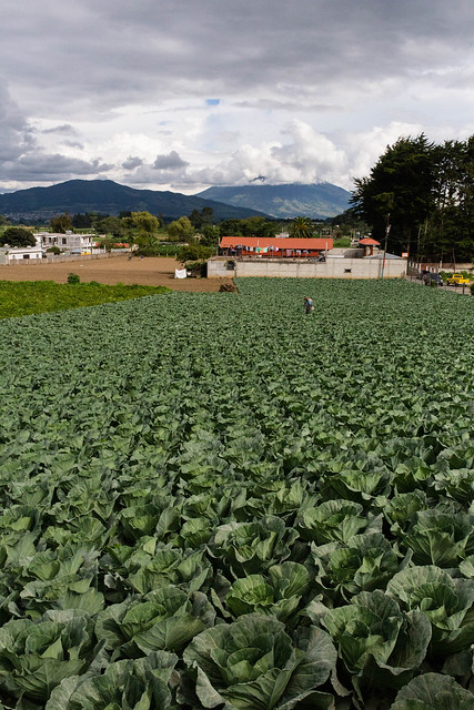 cabbage field in Guatemala