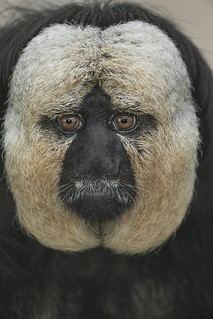 White-faced Saki | by San Diego Zoo Global