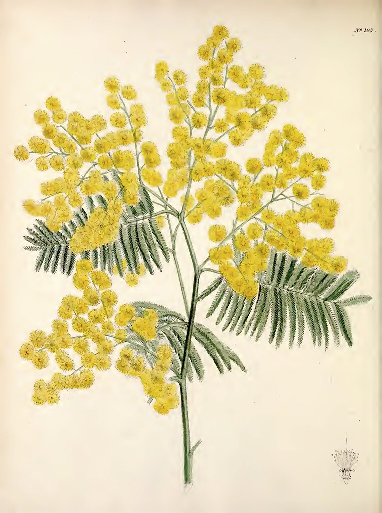 Silver Wattle Acacia Dealbata The Floral Cabinet And