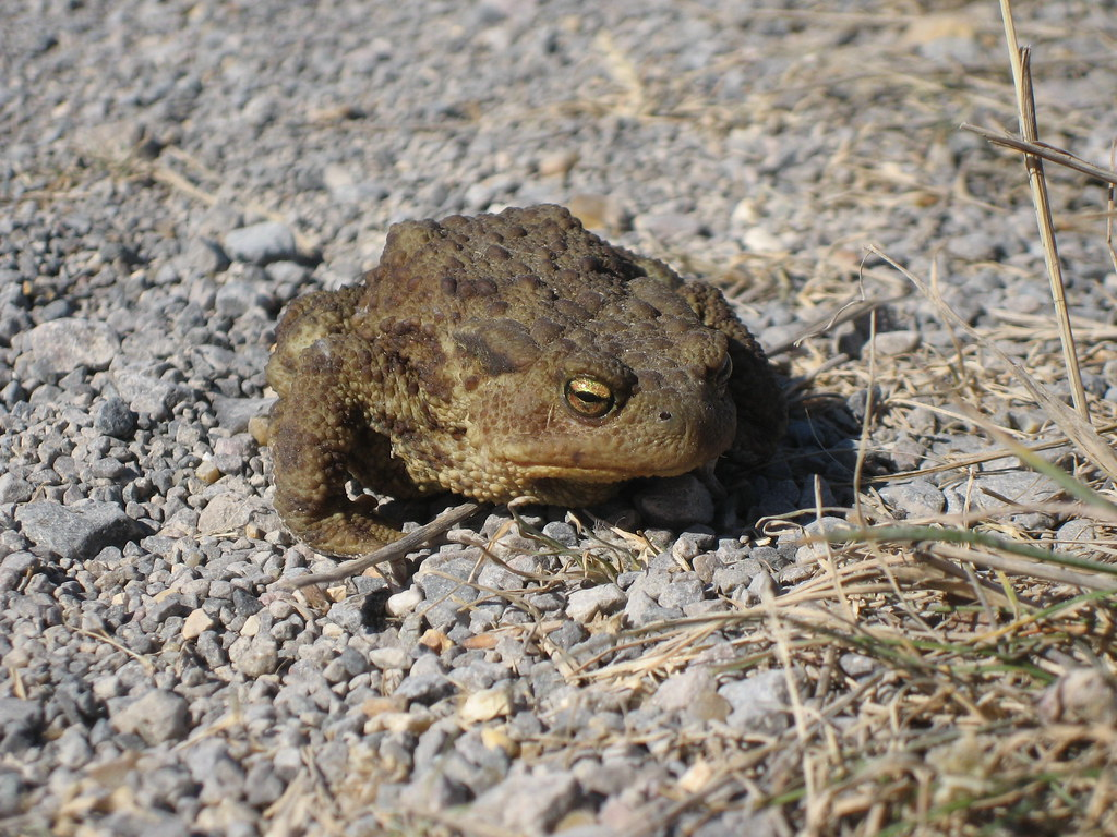 toad on the road found this toad on a road in spain a toad flickr