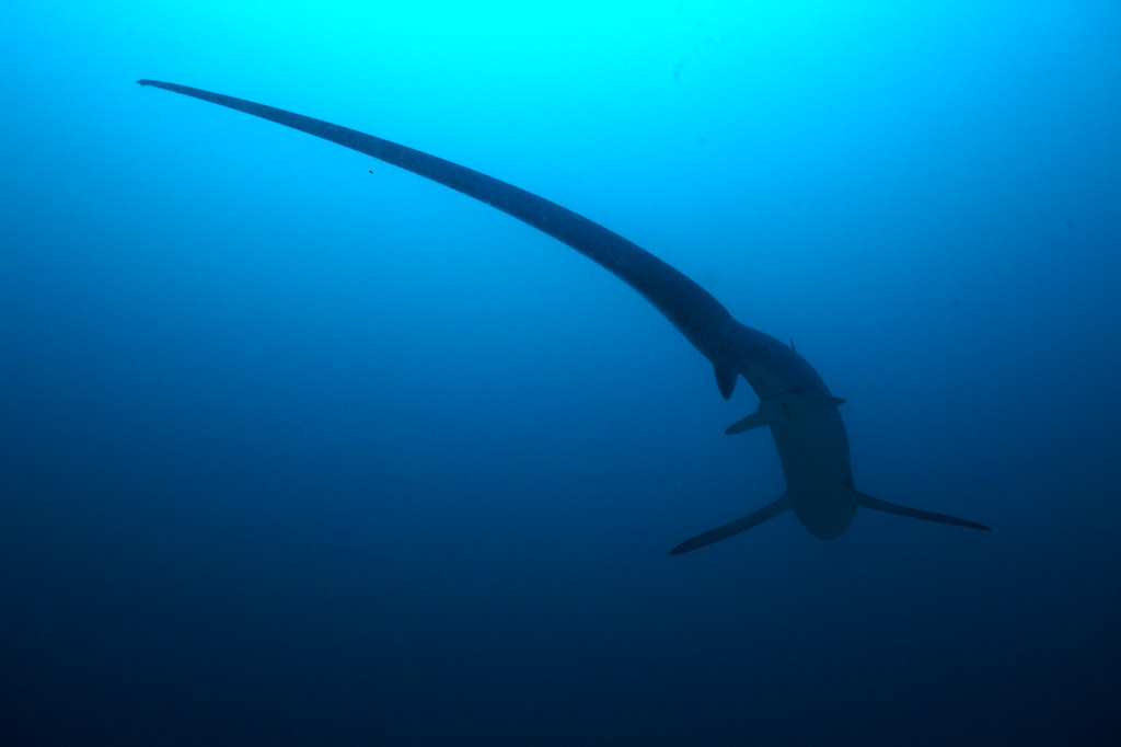 Tail A Thresher Shark At Monad Shoal Philippines They