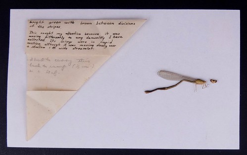 A photo of a damselfly next to a sheet of details about its behavior and collection.
