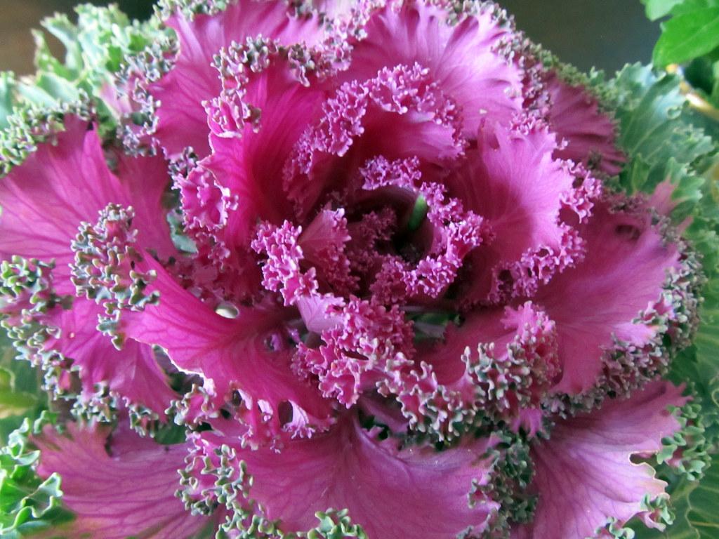 Ornamental Kale  daryl_mitchell  Flickr