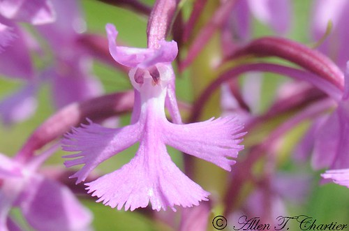 Platanthera psycodes (Purple Fringed-Orchid)