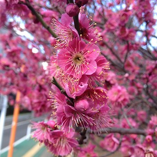 Plum blossom season is here.