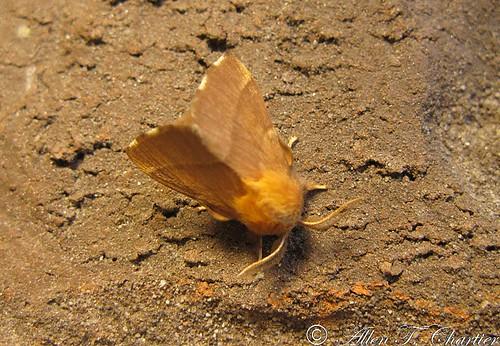 Malacosoma disstria (Forest Tent Caterpillar Moth)