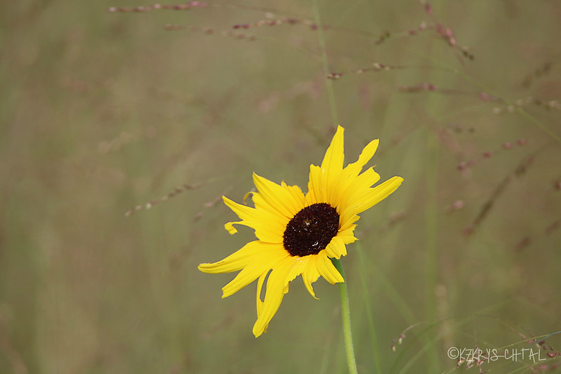 IMG_1161Sunflower