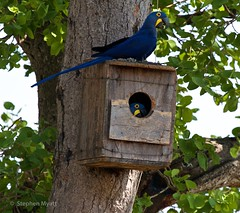 Eye,Eye, Hyacinth Macaws , South Pantanal, Brazil.