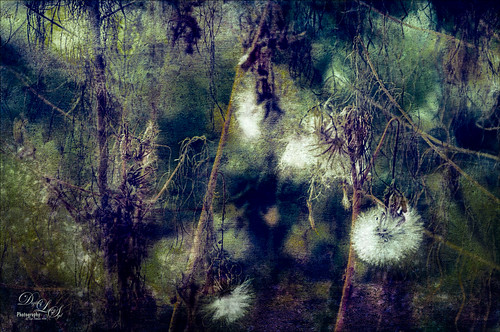 Double exposure image of dandelions