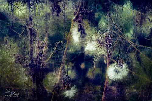 Double exposure image of dandelions