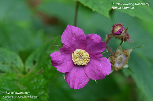 Purple-flowering Raspberry, Thimbleberry - Rubus odoratus